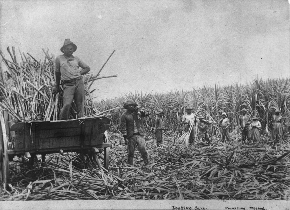South Sea Islanders Loading Sugar Cane C1890