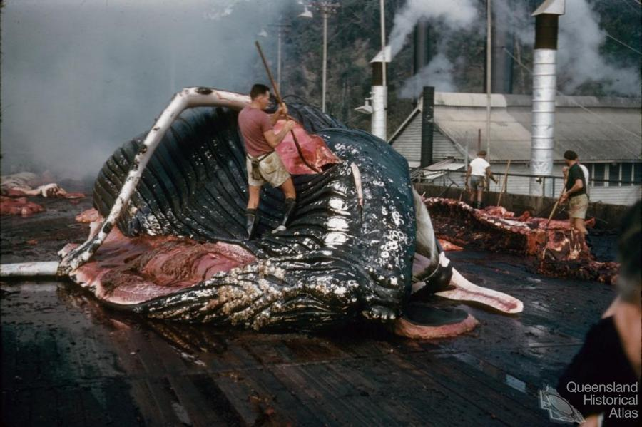 From whaling to whale watching | Queensland Historical Atlas