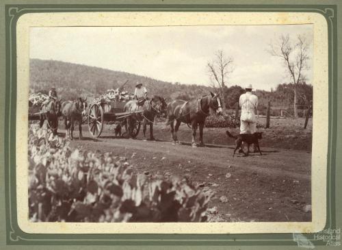 Carting prickly pear near Kingsthorpe, 1920s