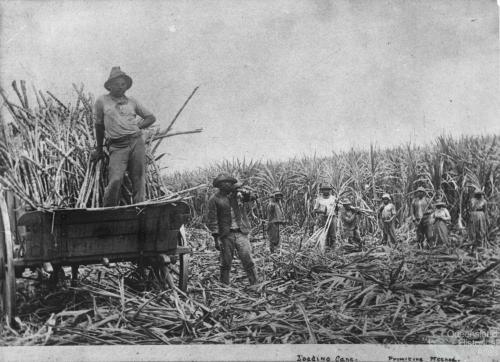 South Sea Islanders, loading sugar cane, c1890