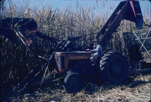Mechanical harvest of sugar-cane, Kingaroy Shire, 1956