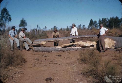 Drought feeding bottle trees to cattle, Monogorilby, c1955