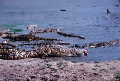 Edward River Mission (now Pormpuraaw) crocodile farm, 1990