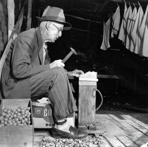 Breaking macadamia nuts with a hammer, c1957