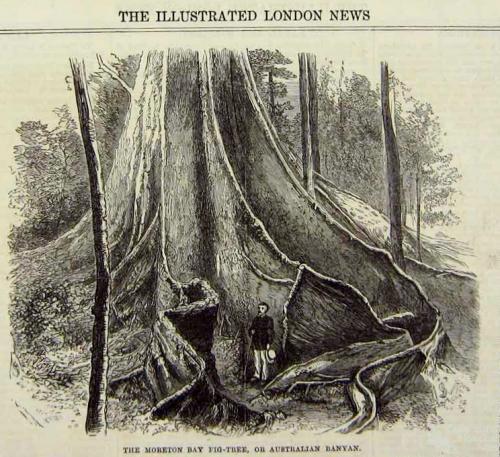 The Moreton Bay Fig Tree, 1869
