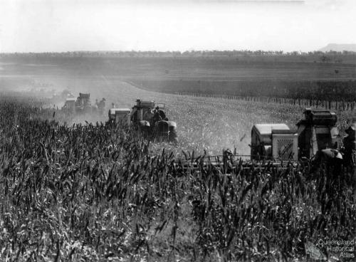 Harvesting the first sorghum crop on Peak Downs, June 1949