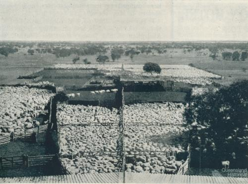 Sheep yarded for shearing, Isis Downs, 1938