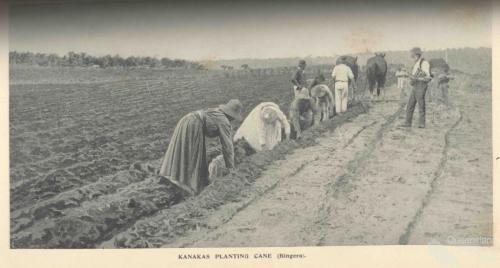 South Sea Islanders planting cane, Bingera, 1897