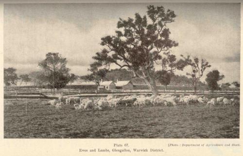 Ewes and lambs, Glengallan Homestead, Warwick, 1937