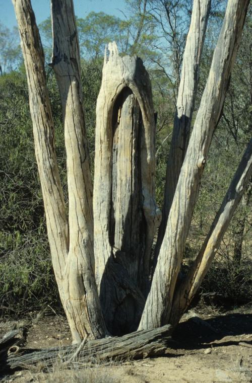 Aboriginal shield tree, Ackeray Station, Augathella, 1979