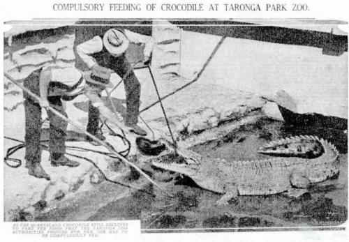 Compulsory feeding of crocodile at Taronga Park Zoo, 1934