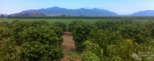 Mango plantation
