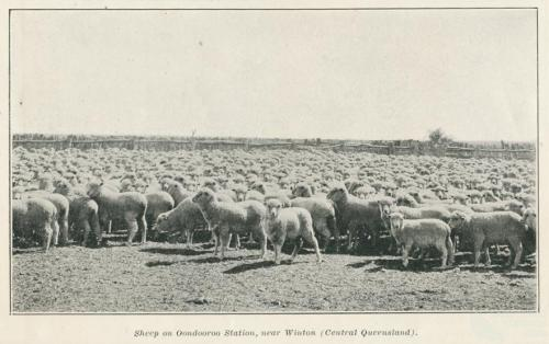 Sheep on Oondooroo Station, near Winton, 1915