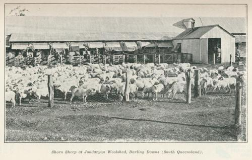 Shorn sheep at Jondaryan Woolshed, Darling Downs, 1915