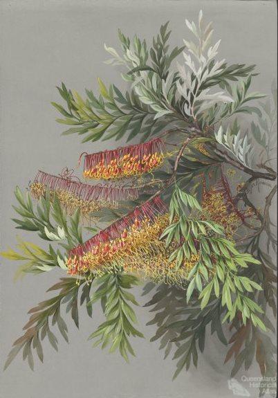 Grevillea robusta Cunningham (silky oak), c1880s