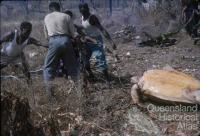 Cooking turtle, Torres Strait, 1958