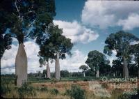 Bottle trees, Boondoomba, c1959