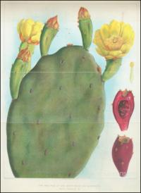 Types of prickly pear, 1925