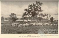 Ewes and lambs, Glengallan Homestead, Warwick, 1937