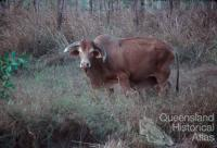 Brahman cattle, introduced in 1933 to northern Australia, Lakefield National Park, 1982