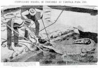 Compulsory feeding of crocodile at Taronga Park Zoo, 1934