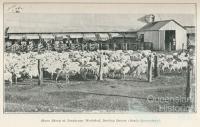 Shorn sheep at Jondaryan Woolshed, Darling Downs, 1915