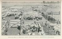 Dehorning rams on Biddenham Station, Charleville, 1915
