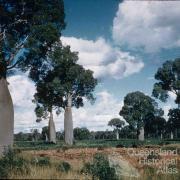 Bottle trees, Boondoomba, c1959