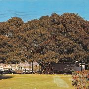 Moreton Bay Fig growing in Santa Barbara, California