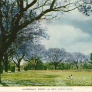 Jacaranda trees in New Farm Park, c1958