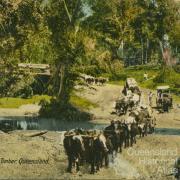 Hauling timber, Queensland, c1910