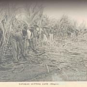 South Sea Islanders cutting cane, Bingera, 1897