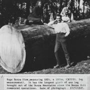 Huge Bunya Pine, 1927