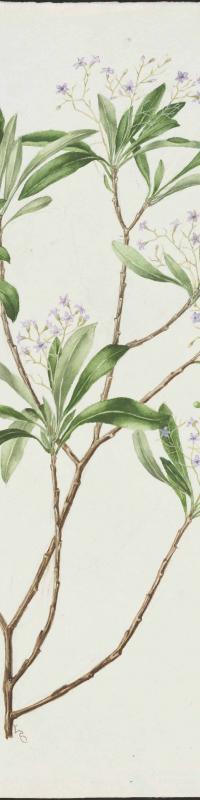 Duboisia myoporoidis (pituri), 1923