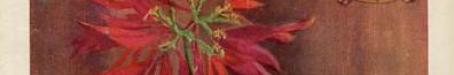 Brisbane's floral emblem, Poinsettia Pulcherrima, The Queenslander, 1930